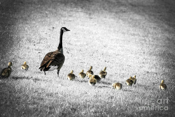 Goose Art Print featuring the photograph Mother Goose by Elena Elisseeva