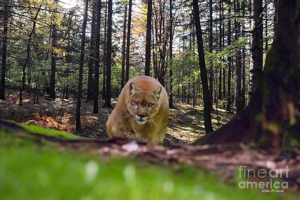 Mountain Lion Art Print featuring the photograph Mountain Lion Stalking by Dan Friend