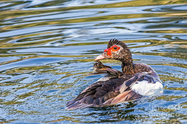 Bird Art Print featuring the photograph Muscovy Hen by Kate Brown