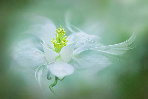 Aquilegia Art Print featuring the photograph Mystical by Jacky Parker