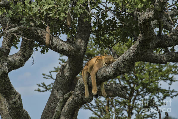 Africa Art Print featuring the photograph Nap Time On The Serengeti by Sandra Bronstein