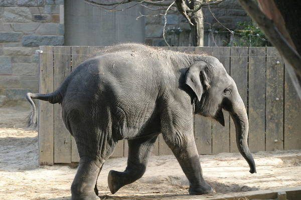 National Art Print featuring the photograph National Zoo - Elephant - 12126 by DC Photographer
