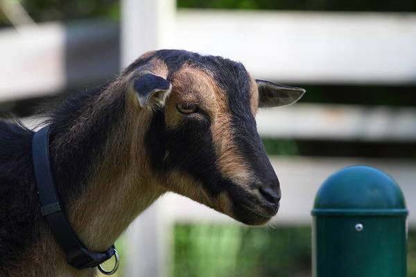 National Art Print featuring the photograph National Zoo - Goat - 01132 by DC Photographer
