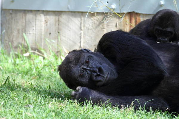 National Art Print featuring the photograph National Zoo - Gorilla - 011339 by DC Photographer