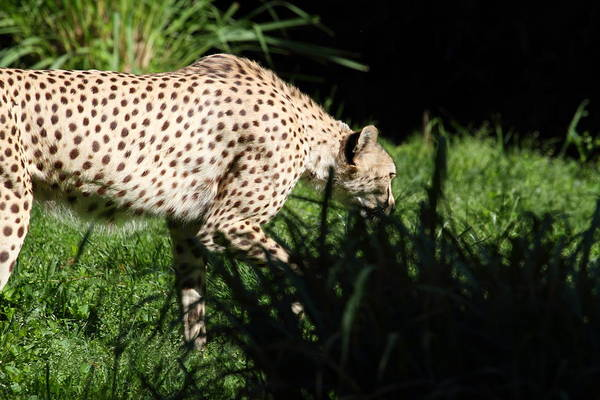 National Art Print featuring the photograph National Zoo - Leopard - 011311 by DC Photographer