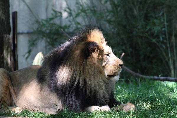 National Art Print featuring the photograph National Zoo - Lion - 011318 by DC Photographer
