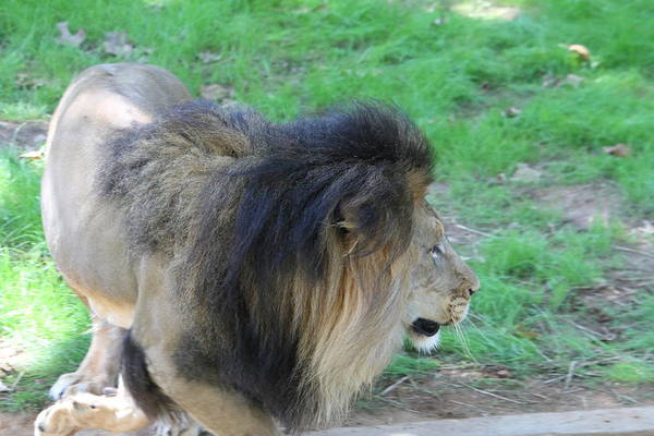 National Art Print featuring the photograph National Zoo - Lion - 01133 by DC Photographer