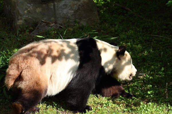 National Art Print featuring the photograph National Zoo - Panda - 011328 by DC Photographer