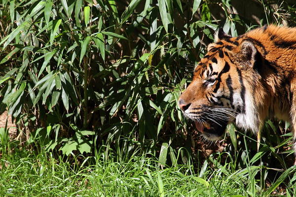 National Art Print featuring the photograph National Zoo - Tiger - 011312 by DC Photographer