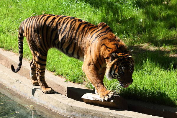 National Art Print featuring the photograph National Zoo - Tiger - 011319 by DC Photographer