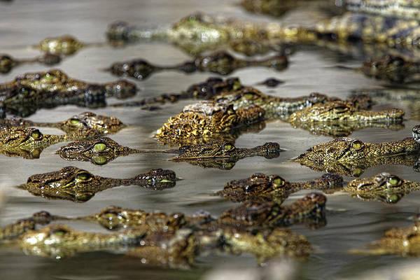 Wildlife Art Print featuring the photograph Nile Crocodiles Crocodylus Niloticus by David Santiago Garcia