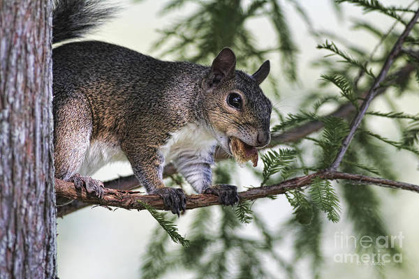 Squirrel Art Print featuring the photograph Ok You Caught Me by Deborah Benoit