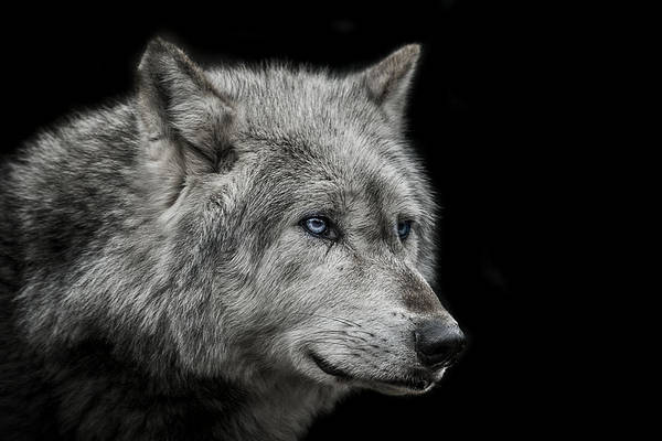 Wolf Art Print featuring the photograph Old Blue Eyes by Paul Neville
