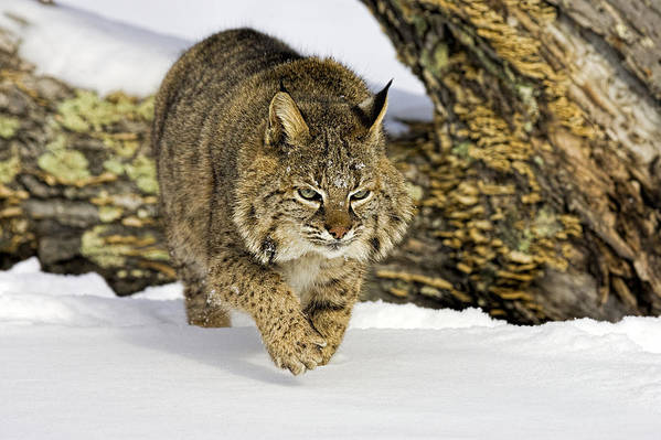 Bobcat Art Print featuring the photograph On The Prowl by Jack Milchanowski