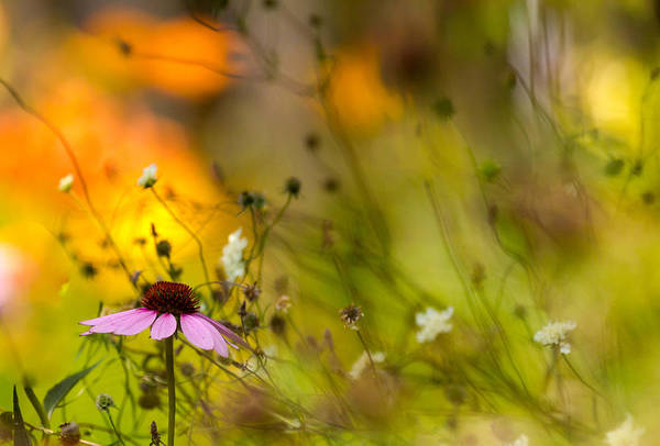 Cone Flower Art Print featuring the photograph Once Upon A Time There Lived A Flower by Mary Amerman