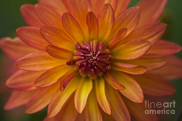 Heiko Art Print featuring the photograph Orange Dahlia Blossom by Heiko Koehrer-Wagner