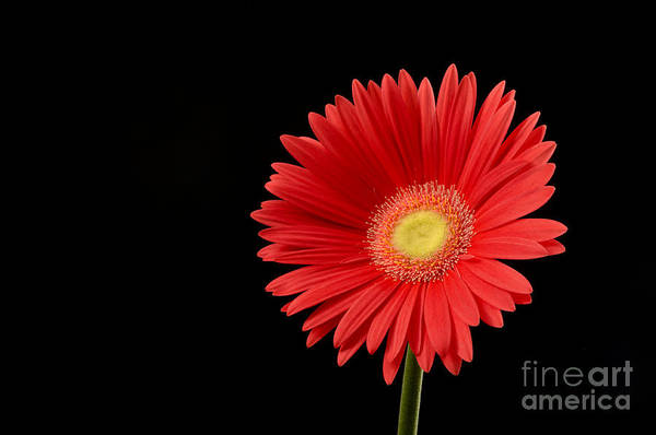 Background Art Print featuring the photograph Orange Gerber Daisy by Gord Horne