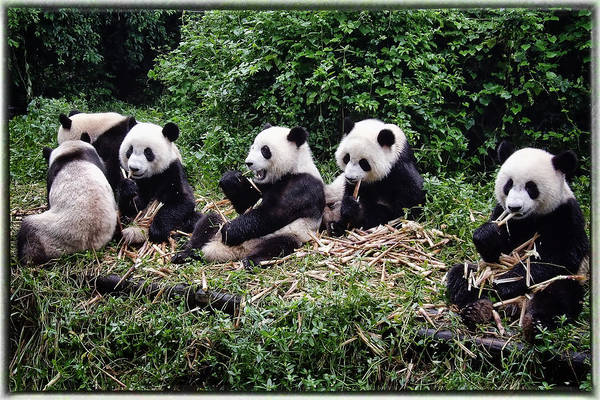 Animal Art Print featuring the photograph Pandas In China by Joan Carroll