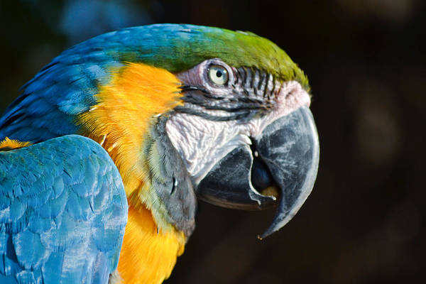 Bird Art Print featuring the photograph Parrot Close Up by Donna Shaw