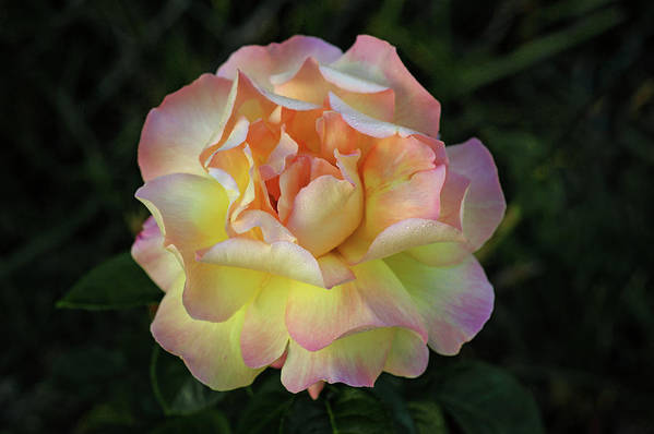 Rose Art Print featuring the photograph Peace Rose by Sandy Keeton