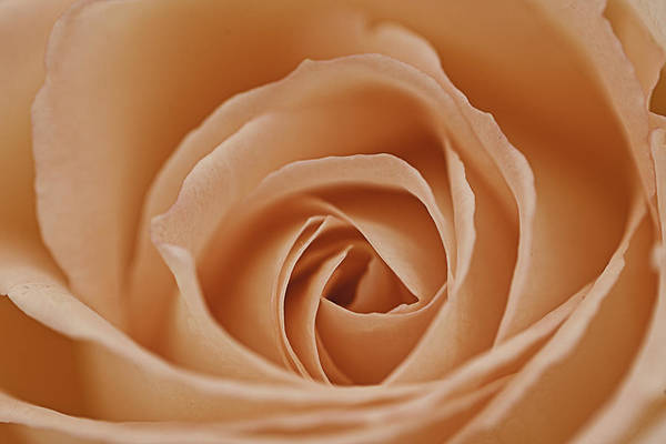 Peach Art Print featuring the photograph Peach Rose by Lesley Rigg