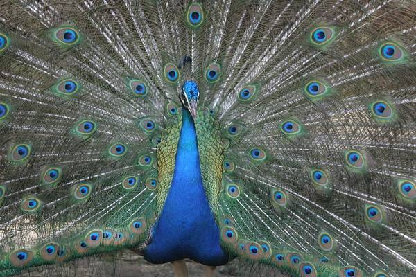 Bird Art Print featuring the photograph Peacock by Dervent Wiltshire