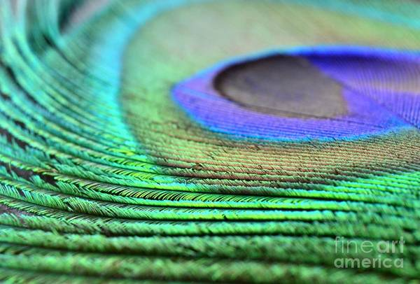 Feather Art Print featuring the photograph Peacock Feather by Chad and Stacey Hall