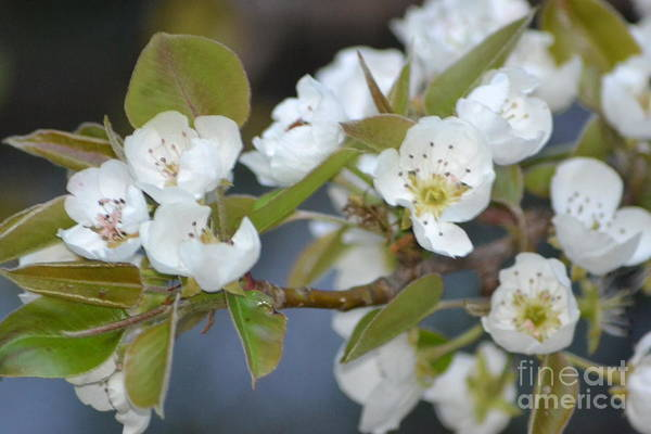 Nature Art Print featuring the photograph Pear Tree Blooms by Kris Wolf