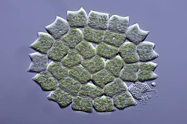 Algae Art Print featuring the photograph Pediastrum Green Algae, Micrograph by Science Photo Library