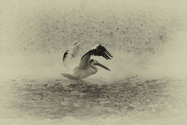 White Pelican Art Print featuring the photograph Pelican Landing In Black And White by Thomas Young