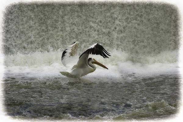 White Pelican Art Print featuring the photograph Pelican Landing In Color by Thomas Young