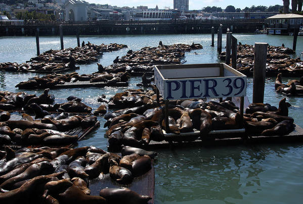 Seals Art Print featuring the photograph Pier 39 San Francisco Bay by Aidan Moran