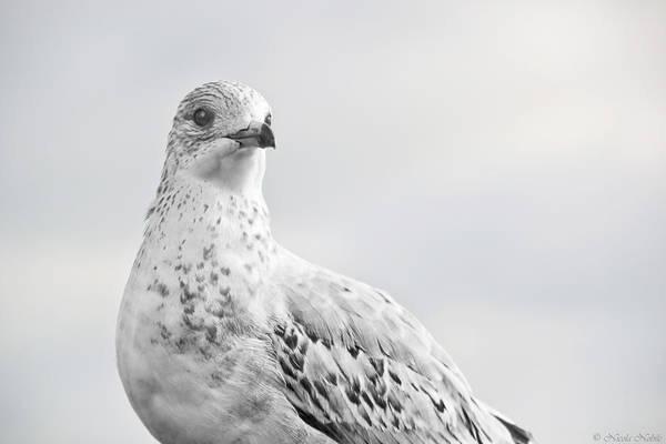Bird Art Print featuring the photograph Pigeon Pride II by Nicola Nobile