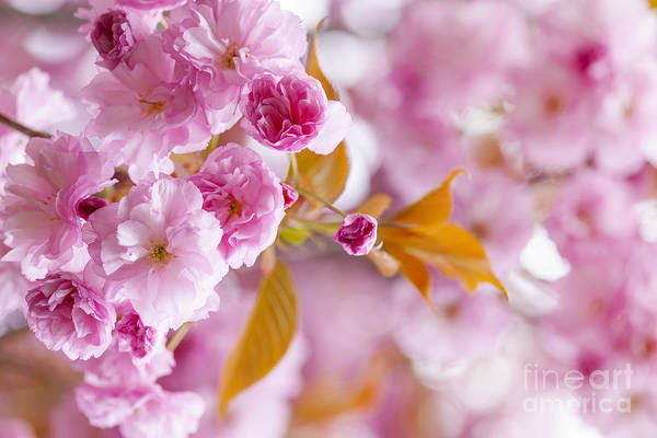 Cherry Art Print featuring the photograph Pink Cherry Blossoms In Spring Orchard by Elena Elisseeva