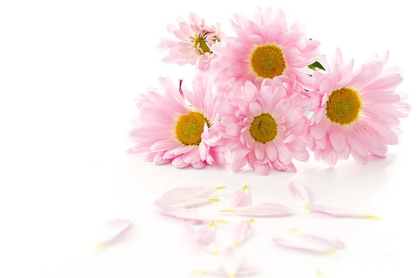 Pink Chrysanthemums Art Print featuring the photograph Pink Chrysanthemums Beautiful by Boon Mee