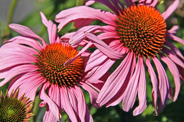Coneflower Art Print featuring the photograph Pink Coneflowers by Athena Mckinzie