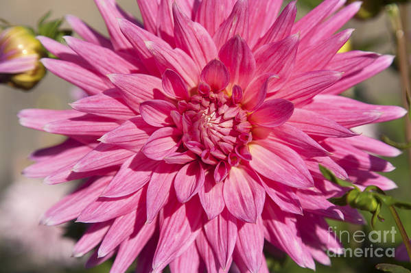 Bloom Art Print featuring the photograph Pink Dahlia II by Peter French