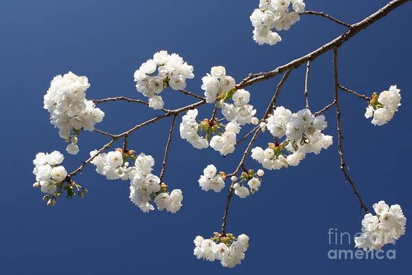 Flower Art Print featuring the photograph Plum Blossoms 2 by Vicki Maheu