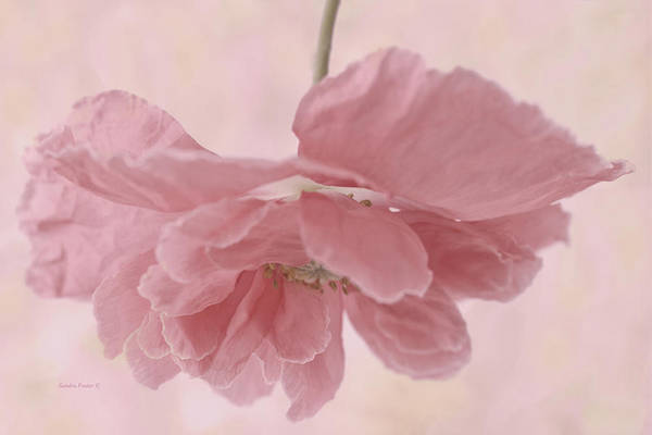 Poppy Art Print featuring the photograph Pretty Pink Poppy Macro by Sandra Foster