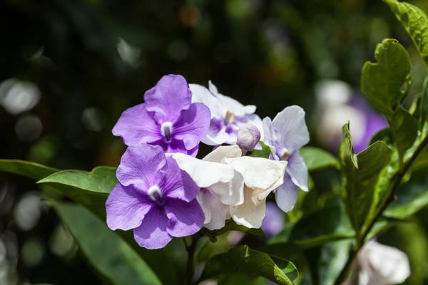 Purple and white flowering bush art print by craig lapsley brunfelsia art print featuring the photograph purple and white flowering bush by craig lapsley mightylinksfo