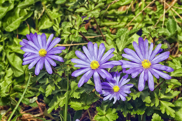 Purple Flowers Art Print featuring the photograph Purple Flowers Lookiing Like Daisies by Constantine Gregory