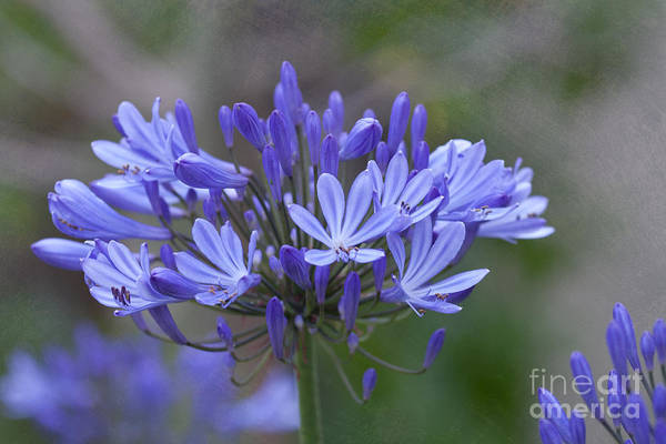 Carmel Art Print featuring the photograph Purple Glory by Kay Pickens