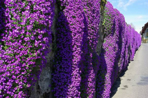 Purple Art Print featuring the photograph Purple Hanging Flowers by Andy Fletcher