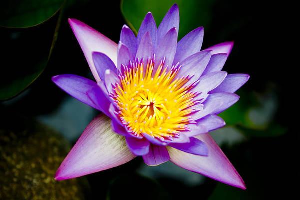 Flowers Art Print featuring the photograph Purple Lotus by Raimond Klavins