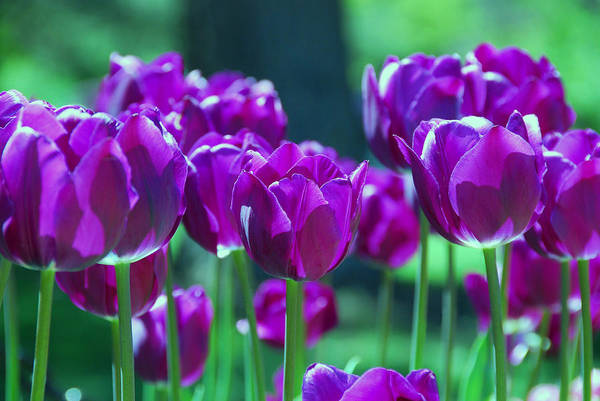 Purple Tulips Art Print featuring the photograph Purple Tulips by Allen Beatty
