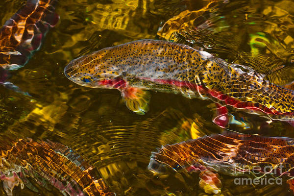 Trout Art Print featuring the photograph Rainbow Trout by Cari Gesch