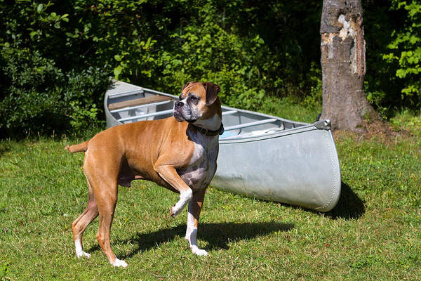 Boxer Art Print featuring the photograph Ranger The Boxer by Stephanie McDowell