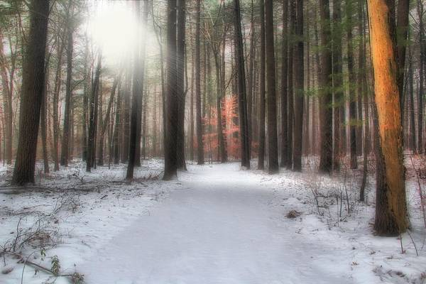 Pine Trees Art Print featuring the photograph Rays Of Light by Andrea Galiffi