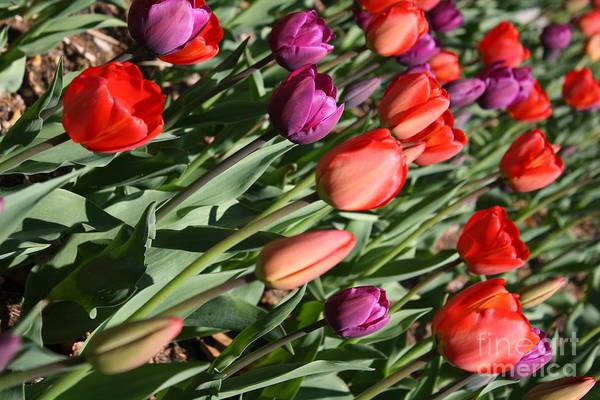Tulips Art Print featuring the photograph Red And Purple Tulips by Dora Sofia Caputo Photographic Design and Fine Art