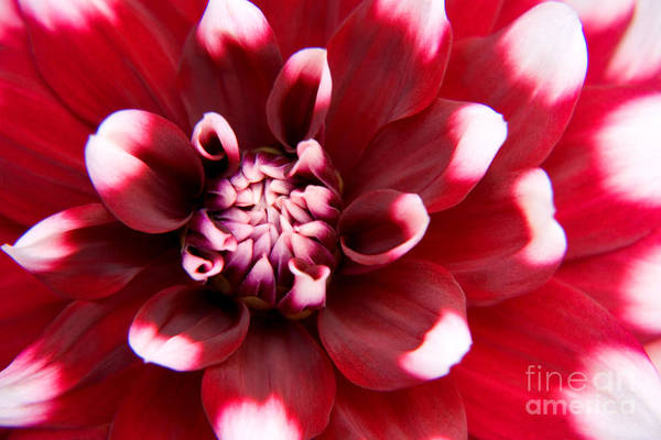 Flower Art Print featuring the photograph Red And White Fubuki Dahlia by Julia Hiebaum